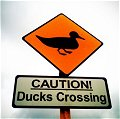 Caution: Ducks Crossing