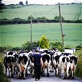 Cow things in north Wexford